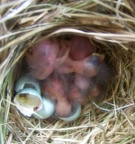 Newly hatched nestlings