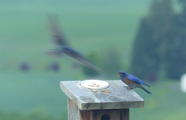 Bluebirds and Swallows compete for nests